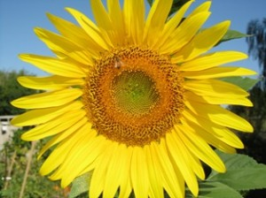 A giant sunflower blooms in summer; by autumn the center head is filled with seed