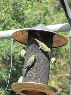 Finches dining on small oily black Nyjer seeds that grow on a foot-tall stalks with a blue bloom