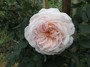 Shropshire Lad , a David Austen rose we grow on the Henny Penny Farmette