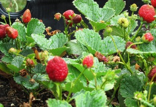 Luscious strawberries are thriving in raised beds