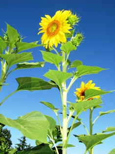 Seeds from your picture postcard-perfect giant sunflowers can be gifted