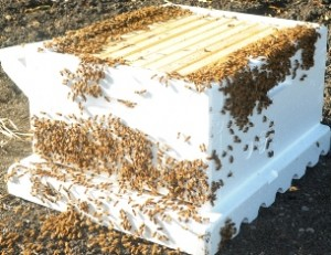 A super of honeybees with ten frames