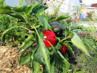 Sweet red and green bell peppers