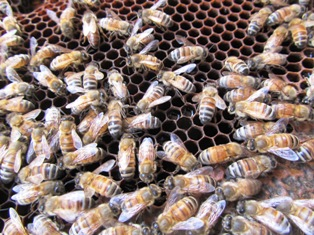 Honeybees make honey and royal jelly for the queen and babies through the winter