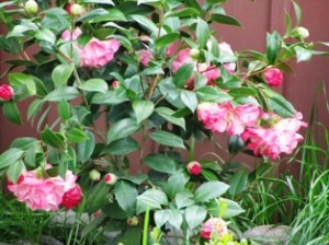 Acid-loving plants include this Camellia japonica attractive blooms and foliage