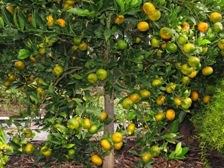 Satsuma  mandarin orange tree prolifically bears fruit but is susceptible to freeze