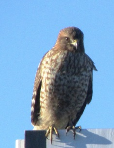 Hawk spotted on a sign post near Dublin, California