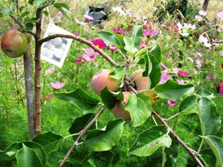 Apple and other fruit trees are often included in a potager garden
