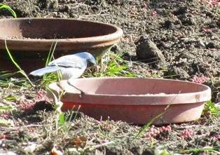 A Western Scrub Jay wonders when the birdseed will be replenished