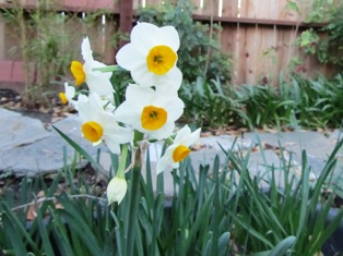 Narcissus jonquilla have yellow or white petals