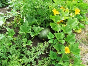 Melon vines grown directly in the ground from seed
