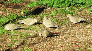 Mourning doves hunt seeds on the ground