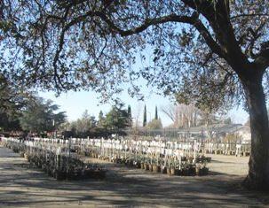 Alden Lane Nursery sprawl beneath ancient oaks in the heart of Livermore, California