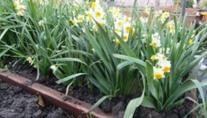 Daffodils are most beautiful planted in drifts