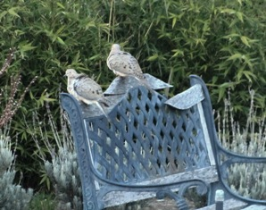 Mourning doves grousing on an old bench after feasting on birdseed