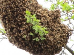 Honeybees will swarm around their queen in branches of trees