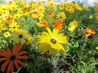 Sun-loving wildflowers that we planted last year are putting on a show this February