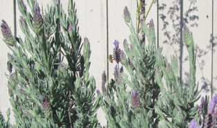 Honeybee forages on Spanish lavender blooms