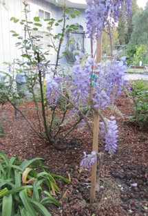 Wisteria adds a romantic accent to almost any garden area