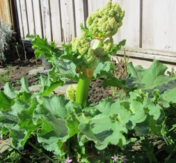 The rhubarb bloom has to be cut so the plant will grow more stalks