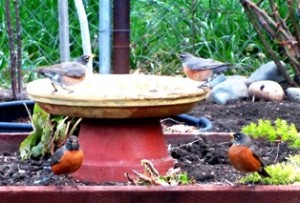 Robins drinking from a pottery saucer