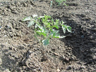 Heirloom tomato seedling planted in soil enriched with chicken manure
