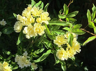 Lady Banks is an old variety with white or yellow baby roses in the spring