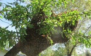 Bees that swarm will follow reconnaissance  scouts to their new nest