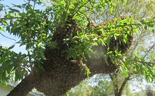 A large swarm followed their queen into my almond tree