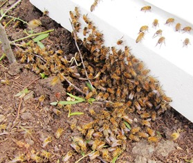 Honeybees at the base of a hive