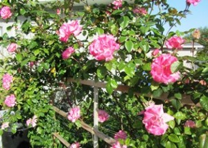 Handel climbs along a trellis made special to support its upright growth habit
