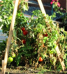 Vine tomatoes need support in the garden