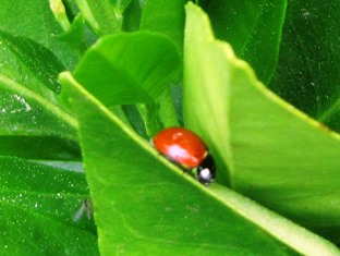 Convergent Lady Beetle hunts for aphids on a blood orange tree leaf
