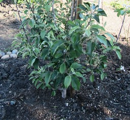 Mulched apple devoid of weeds