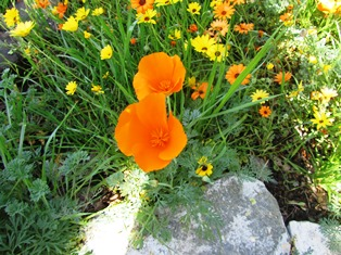 The brilliant orange color of the California poppy pops when planted with purple lupines