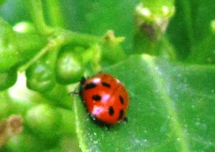 Ladybugs devour large quantities of aphids, a common garden pest