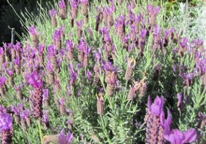If you have limited space, use herbs in your landscaping like this Spanish lavender or grow them in pots on the patio or windowsill