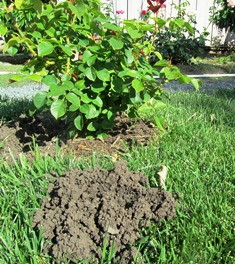 Fresh dirt in a mound is a telltale sign of a mole or gopher in your yard