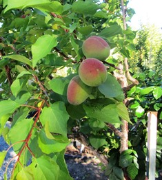 Apricots are beginning to turn from green to the reddish orange color of ripeness