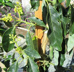 Avocado blooms benefit from honeybees cross-pollinating them