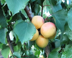 Ripe apricots are ready for picking and canning or drying