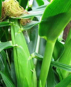 Corn is best seasoned and cooked in the husk in the oven or on the barbecue