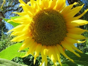 Giant sunflowers add dramatic size and color against stone walls, garden sheds, and wooden fences