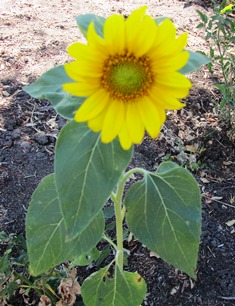 Sunflowers come in a range of sizes
