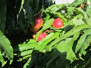 Nectarines are ripening but the tree recently developed peach leaf curl