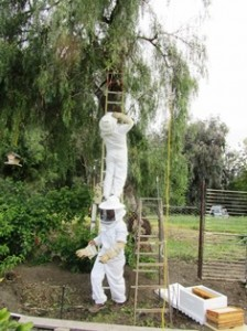 Capturing a bee swarm sometimes requires two beekeepers