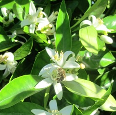 Lemon and orange tree blossoms are fragrant, lovely, and tasty
