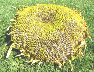 Giant sunflower head, newly harvested