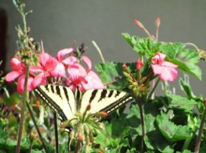 Western Yellow Tiger Swallowtail butterfly on geraniums