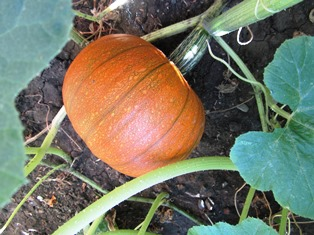 French sugar pumpkin are small but perfect for pies
